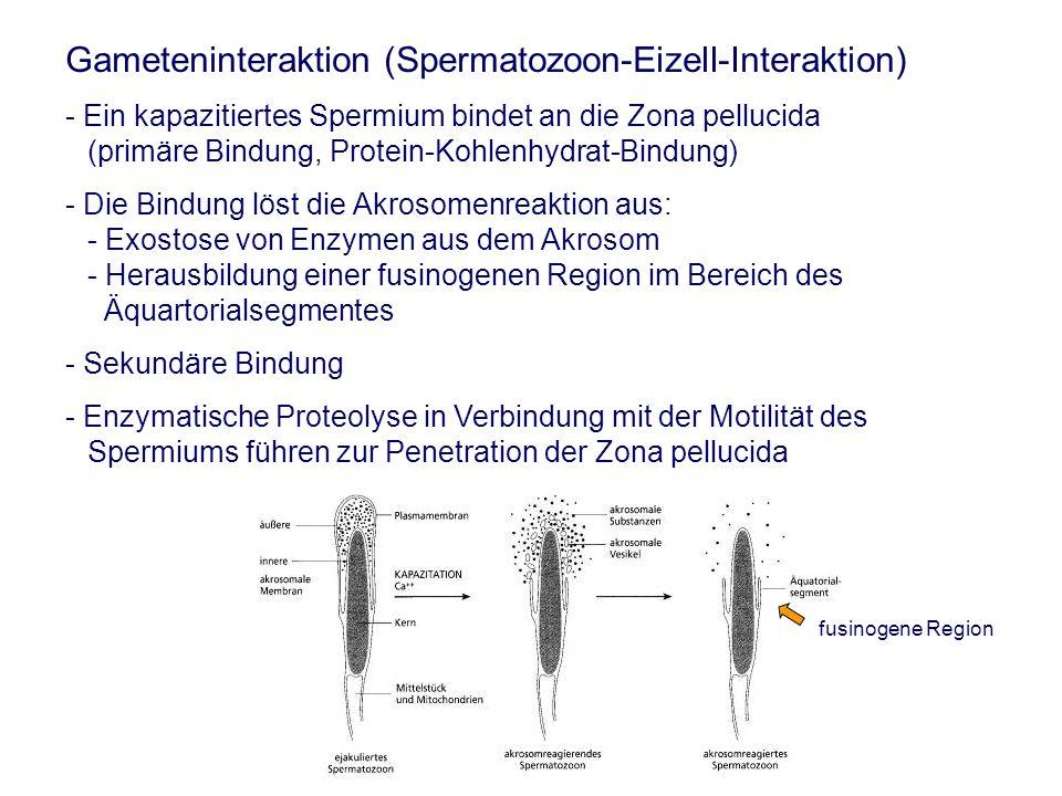 Gameteninteraktion (Spermatozoon-Eizell-Interaktion) - Ein kapazitiertes Spermium bindet an die Zona pellucida (primäre Bindung, Protein-Kohlenhydrat-Bindung) - Die Bindung löst die Akrosomenreaktion aus: - Exostose von Enzymen aus dem Akrosom - Herausbildung einer fusinogenen Region im Bereich des Äquartorialsegmentes - Sekundäre Bindung - Enzymatische Proteolyse in Verbindung mit der Motilität des Spermiums führen zur Penetration der Zona pellucida fusinogene Region
