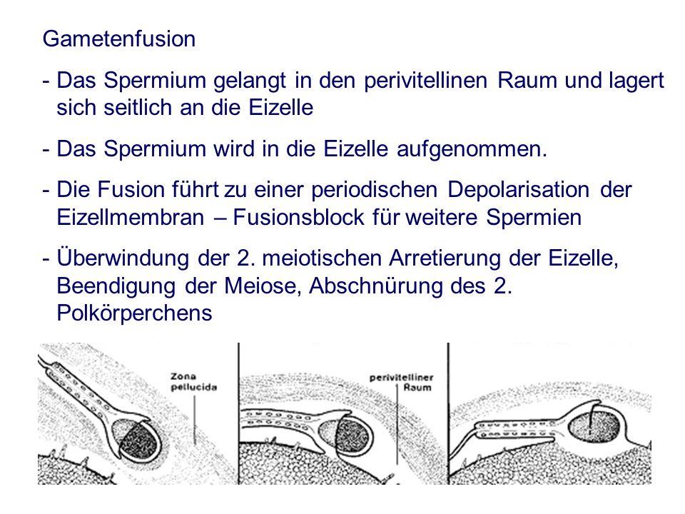 Gametenfusion - Das Spermium gelangt in den perivitellinen Raum und lagert sich seitlich an die Eizelle - Das Spermium wird in die Eizelle aufgenommen.