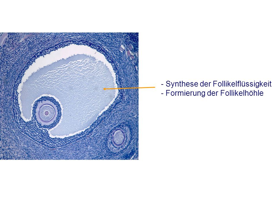 - Synthese der Follikelflüssigkeit - Formierung der Follikelhöhle
