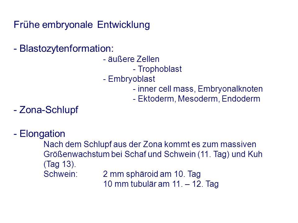 Frühe embryonale Entwicklung - Blastozytenformation: - äußere Zellen - Trophoblast - Embryoblast - inner cell mass, Embryonalknoten - Ektoderm, Mesoderm, Endoderm - Zona-Schlupf - Elongation Nach dem Schlupf aus der Zona kommt es zum massiven Größenwachstum bei Schaf und Schwein (11.