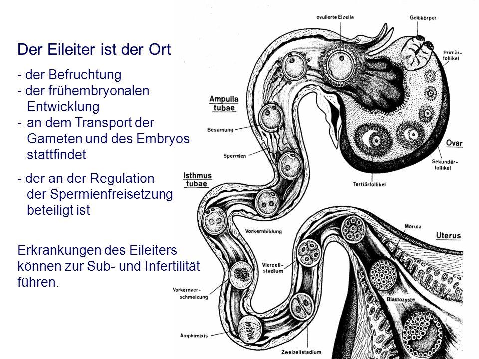 Der Eileiter ist der Ort - der Befruchtung - der frühembryonalen Entwicklung - an dem Transport der Gameten und des Embryos stattfindet - der an der Regulation der Spermienfreisetzung beteiligt ist Erkrankungen des Eileiters können zur Sub- und Infertilität führen.