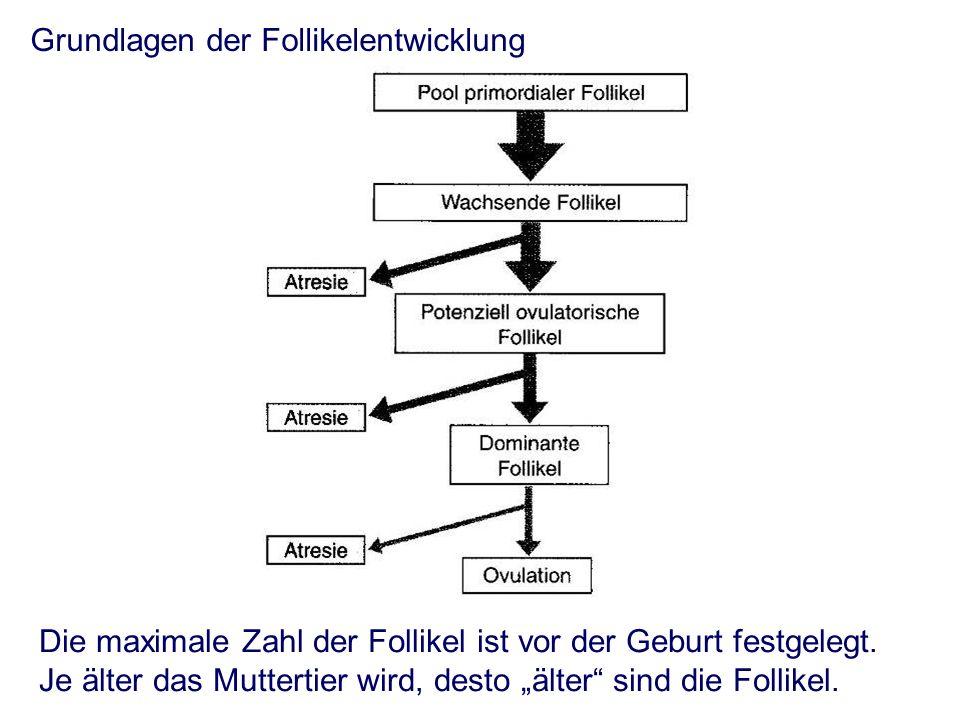 Follikelreifung während des Zyklus -mehrere Follikel beginnen zu wachsen (Kohorte) -mit zunehmendem Follikeldurchmesser nimmt die Östrogensynthese zu.