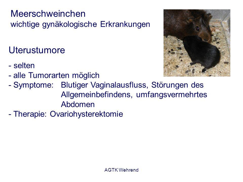 AGTK Wehrend Meerschweinchen wichtige gynäkologische Erkrankungen Uterustumore - selten - alle Tumorarten möglich - Symptome: Blutiger Vaginalausfluss