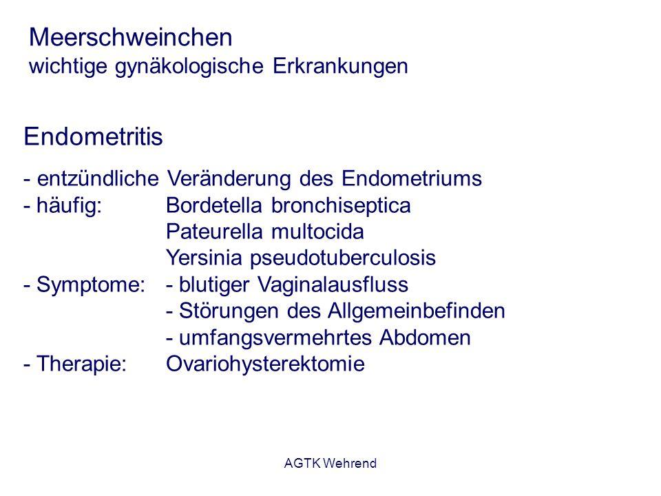 AGTK Wehrend Meerschweinchen wichtige gynäkologische Erkrankungen Endometritis - entzündliche Veränderung des Endometriums - häufig: Bordetella bronch