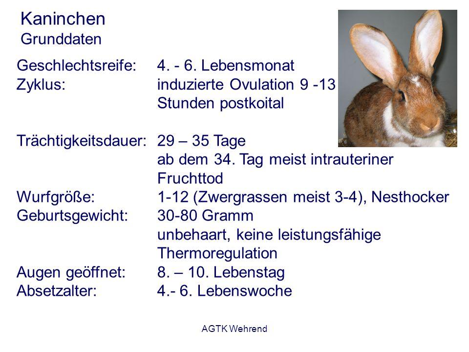 AGTK Wehrend Kaninchen Grunddaten Geschlechtsreife:4. - 6. Lebensmonat Zyklus:induzierte Ovulation 9 -13 Stunden postkoital Trächtigkeitsdauer:29 – 35