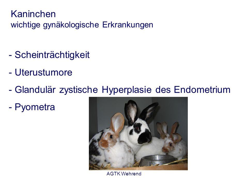 AGTK Wehrend Kaninchen wichtige gynäkologische Erkrankungen Scheinträchtigkeit - Entwickelt sich in Anschluss an eine Bedeckung - Ovulation ohne Befruchtung - Entwicklung von Gelbkörpern - nach etwa 14 Tagen bilden sich die Gelbkörper zurück - typische Verhaltensweise: Nestbau Vorstellungsgrund: Nestbau ohne Geburt