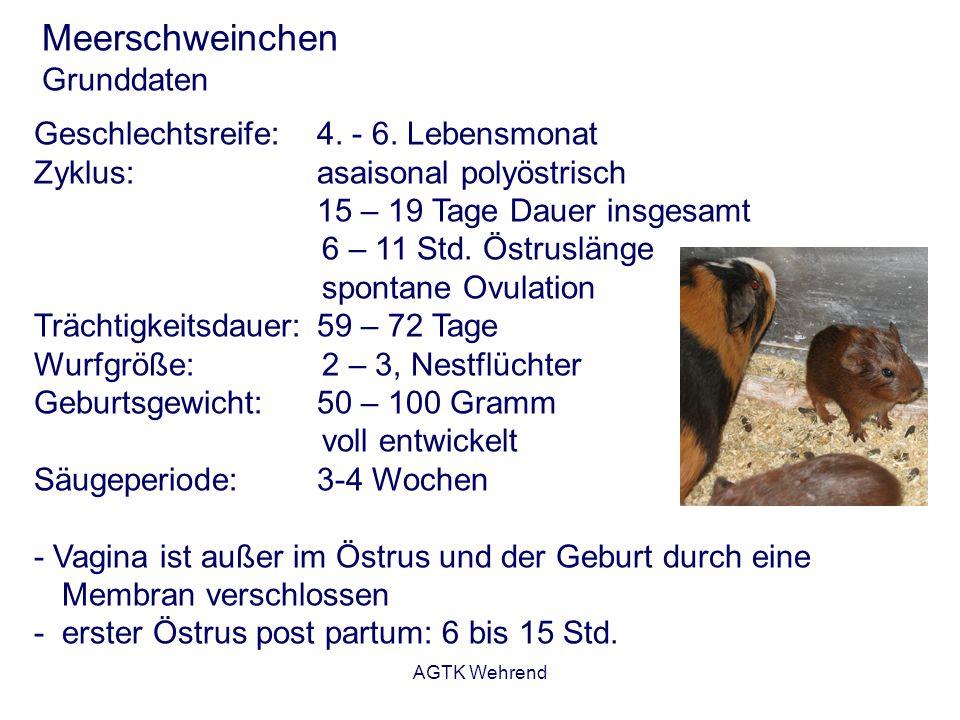 AGTK Wehrend Meerschweinchen Grunddaten Geschlechtsreife:4. - 6. Lebensmonat Zyklus:asaisonal polyöstrisch 15 – 19 Tage Dauer insgesamt 6 – 11 Std. Ös