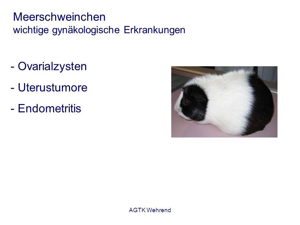 AGTK Wehrend Meerschweinchen wichtige gynäkologische Erkrankungen Ovarialzysten - sehr häufig bei Tieren > 1 Jahr, insbesondere bei Einzelhaltung - 80 % der Tiere (Sektionsmaterial) weisen Zysten auf - große Zysten führen zu mechanischer Beeinflussung der Abdominalorgane - Klinische Symptome:Haarausfall Umfangsvermehrung Abdomen Verdauungsstörungen Dyspnoe, Apathie