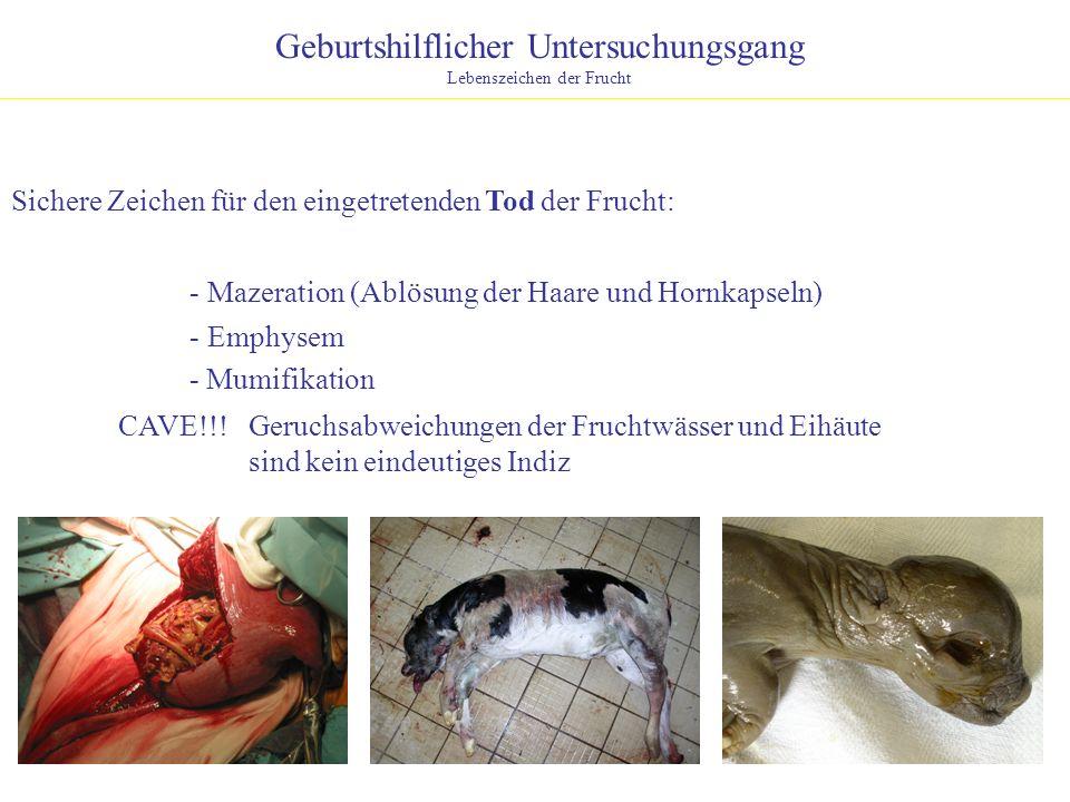 Geburtshilflicher Untersuchungsgang Lebenszeichen der Frucht Sichere Zeichen für den eingetretenden Tod der Frucht: - Mazeration (Ablösung der Haare u