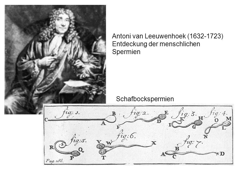 Antoni van Leeuwenhoek (1632-1723) Entdeckung der menschlichen Spermien Schafbockspermien
