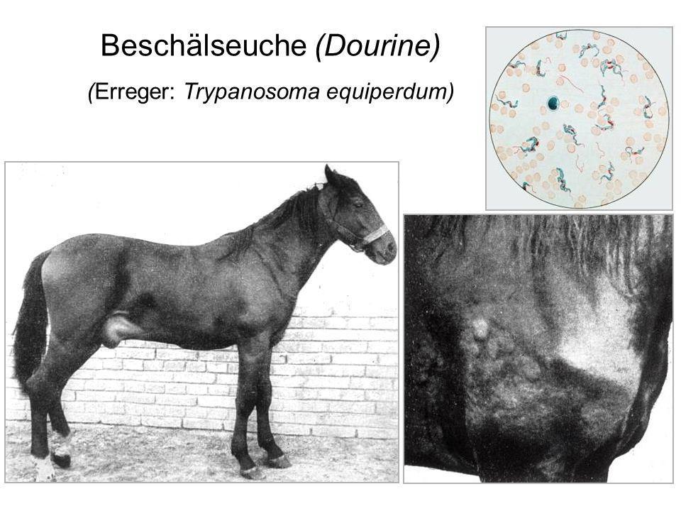 Beschälseuche (Dourine) (Erreger: Trypanosoma equiperdum)