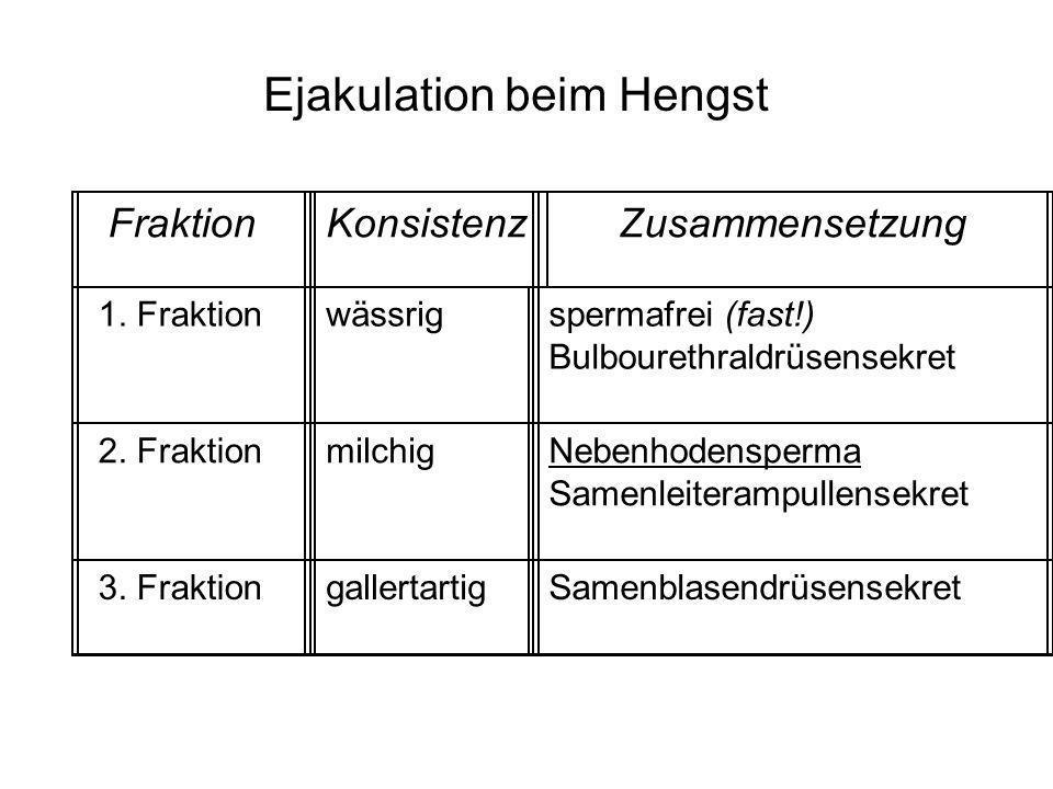 Ejakulation beim Hengst FraktionKonsistenzZusammensetzung 1. Fraktionwässrigspermafrei (fast!) Bulbourethraldrüsensekret 2. FraktionmilchigNebenhodens
