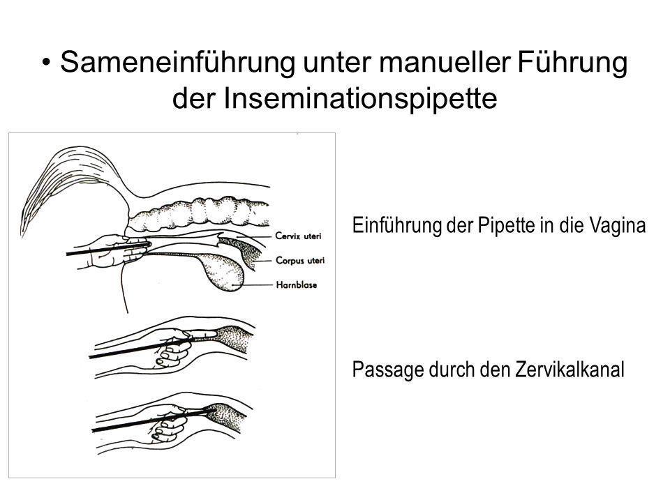 Sameneinführung unter manueller Führung der Inseminationspipette Einführung der Pipette in die Vagina Passage durch den Zervikalkanal