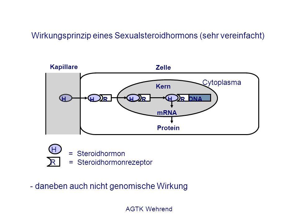 AGTK Wehrend Kapillare Zelle Cytoplasma = Steroidhormonrezeptor = Steroidhormon H H H H H R R DNA mRNA Kern Wirkungsprinzip eines Sexualsteroidhormons (sehr vereinfacht) Protein R R - daneben auch nicht genomische Wirkung