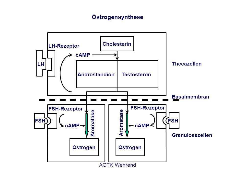AGTK Wehrend LH FSH cAMP Cholesterin AndrostendionTestosteron LH-Rezeptor FSH-Rezeptor cAMP Aromatase Thecazellen Basalmembran Granulosazellen FSH FSH-Rezeptor Östrogensynthese Östrogen