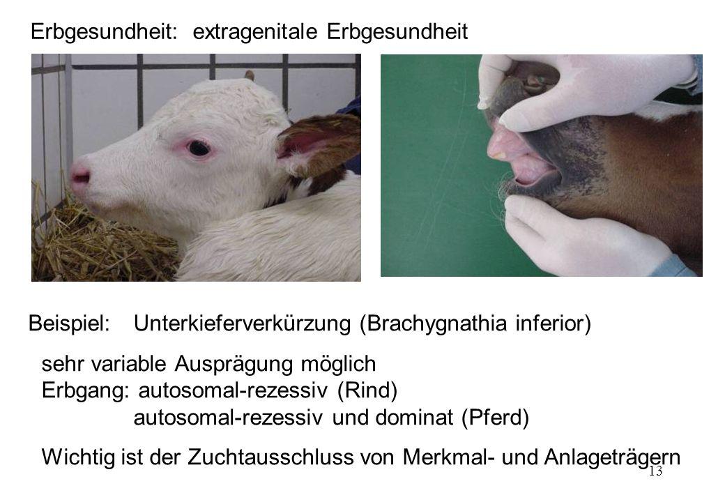 13 Beispiel:Unterkieferverkürzung (Brachygnathia inferior) sehr variable Ausprägung möglich Erbgang: autosomal-rezessiv (Rind) autosomal-rezessiv und