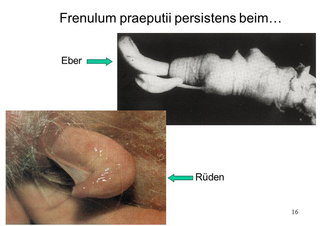 16 Frenulum praeputii persistens beim… Eber Rüden
