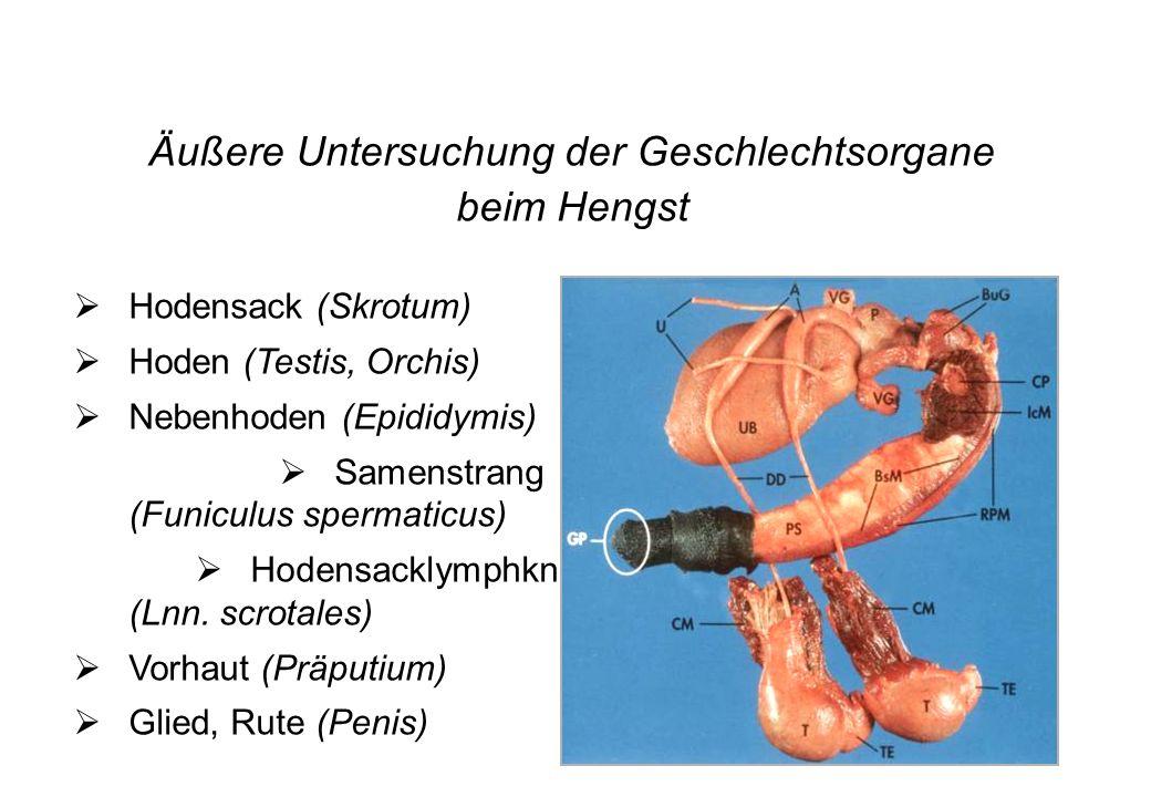 28 Äußere Untersuchung der Geschlechtsorgane beim Hengst Hodensack (Skrotum) Hoden (Testis, Orchis) Nebenhoden (Epididymis) Samenstrang (Funiculus spe