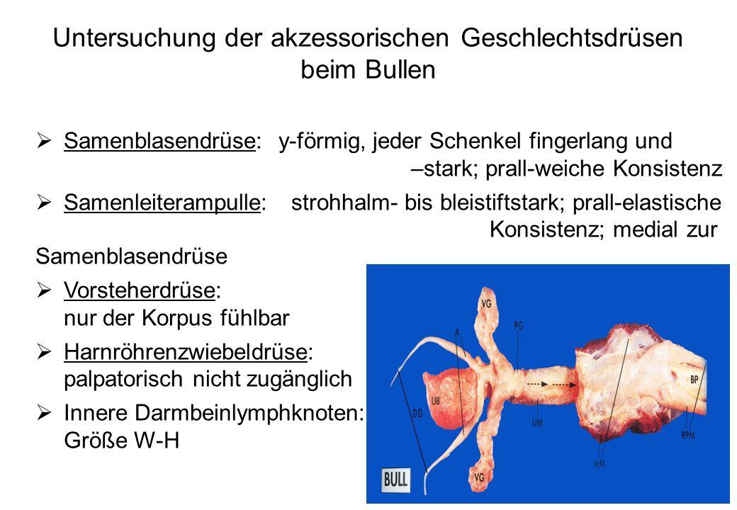 41 Untersuchung der akzessorischen Geschlechtsdrüsen beim Bullen Samenblasendrüse: y-förmig, jeder Schenkel fingerlang und –stark; prall-weiche Konsis