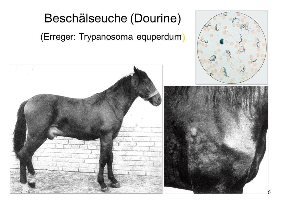 56 Beschälseuche (Dourine) ) (Erreger: Trypanosoma equperdum)