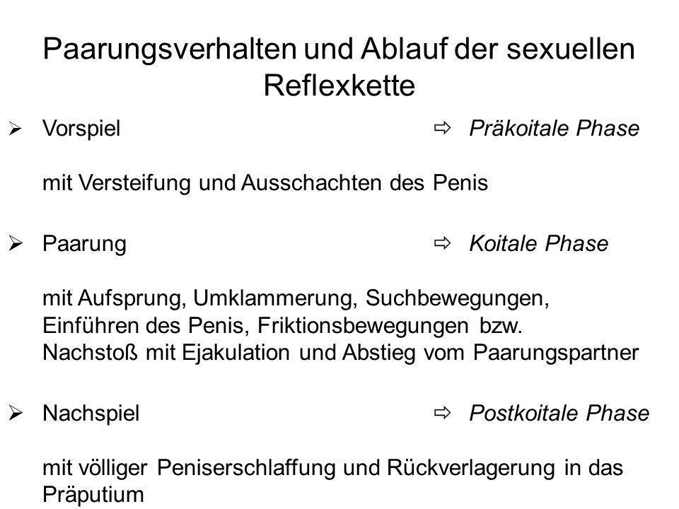 Paarungsverhalten und Ablauf der sexuellen Reflexkette Vorspiel Präkoitale Phase mit Versteifung und Ausschachten des Penis Paarung Koitale Phase mit