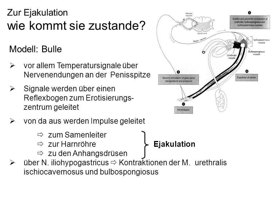 Zur Ejakulation wie kommt sie zustande? Modell: Bulle vor allem Temperatursignale über Nervenendungen an der Penisspitze Signale werden über einen Ref