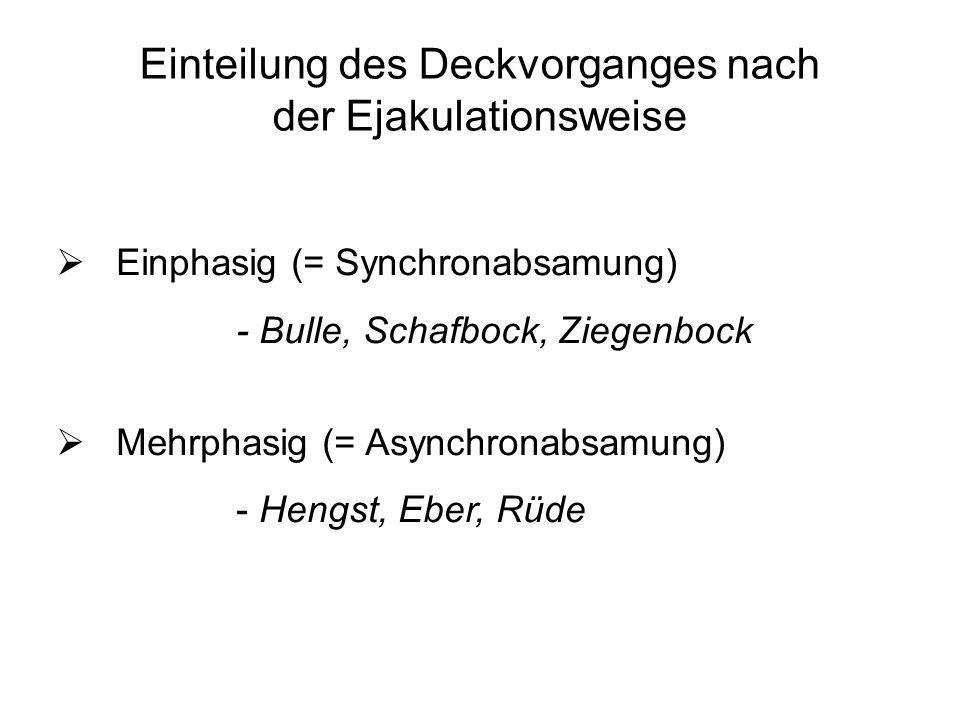 Einteilung des Deckvorganges nach der Ejakulationsweise Einphasig (= Synchronabsamung) - Bulle, Schafbock, Ziegenbock Mehrphasig (= Asynchronabsamung)
