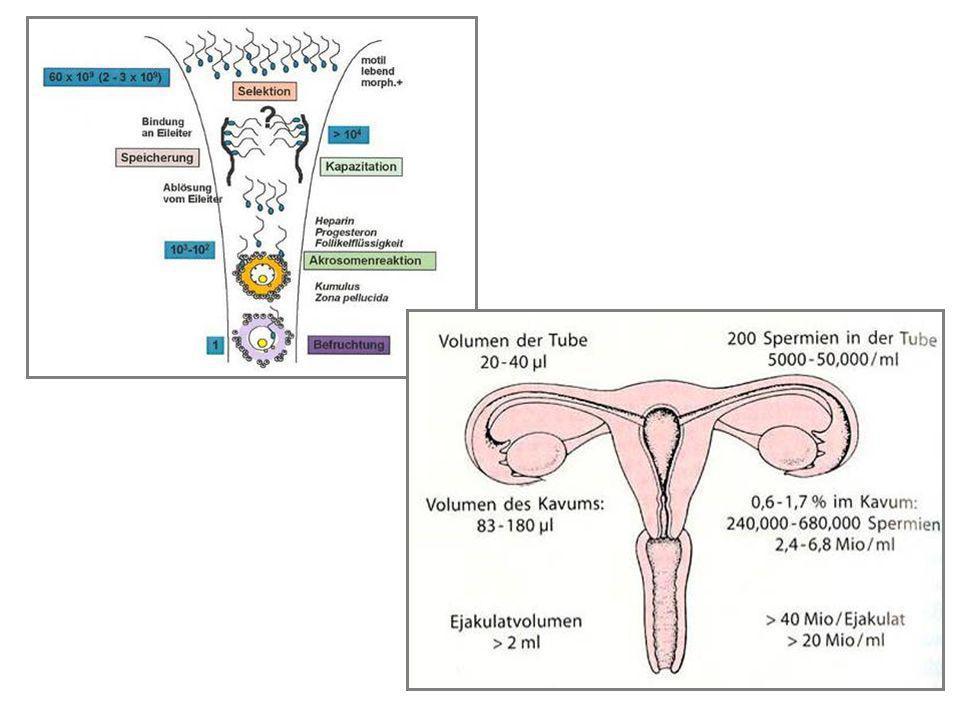 Spermienreservoir im kaudalen Eileiteristhmus Der kaudale Isthmus fungiert als Spermienreservoir bei den Wiederkäuern Pferd und Schwein beim Hund: .
