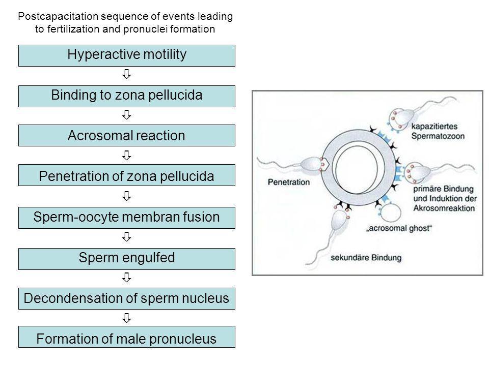 Hyperactive motility Binding to zona pellucida Acrosomal reaction Penetration of zona pellucida Sperm-oocyte membran fusion Sperm engulfed Decondensat