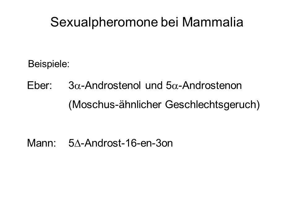 Sexualpheromone bei Mammalia Beispiele: Eber: 3 -Androstenol und 5 -Androstenon (Moschus-ähnlicher Geschlechtsgeruch) Mann: 5 -Androst-16-en-3on
