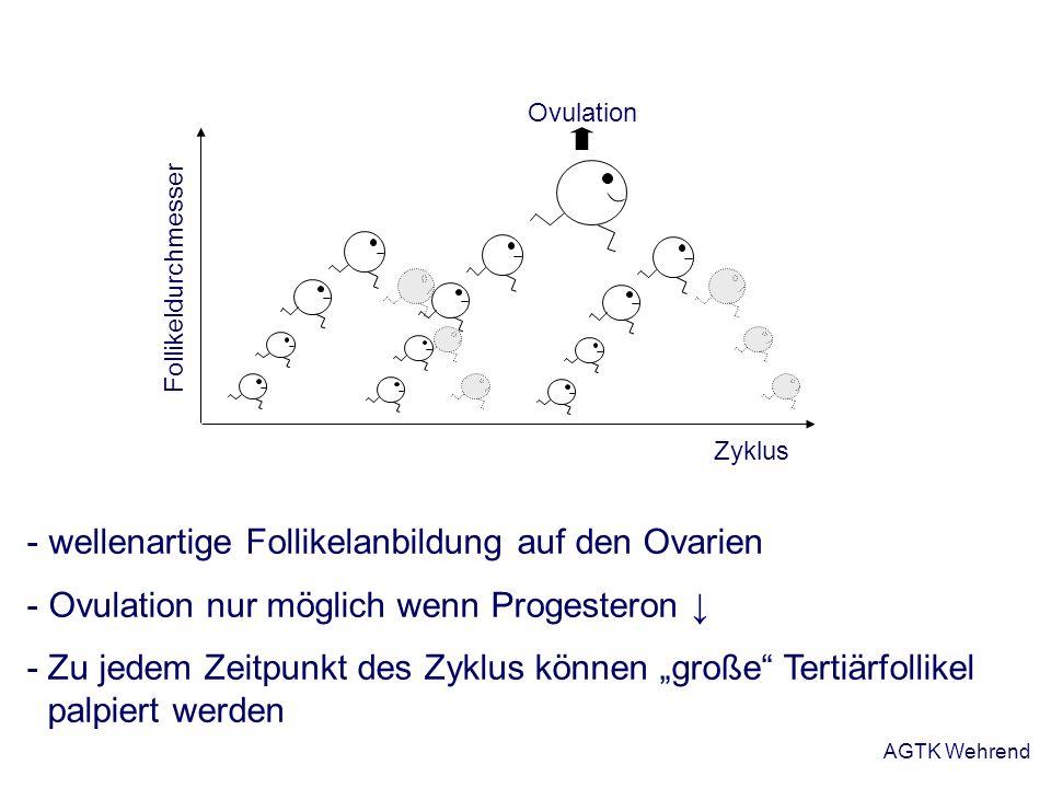 - wellenartige Follikelanbildung auf den Ovarien - Ovulation nur möglich wenn Progesteron - Zu jedem Zeitpunkt des Zyklus können große Tertiärfollikel