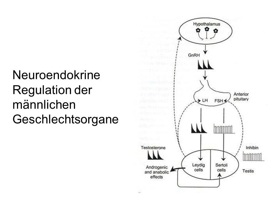 Neuroendokrine Regulation der männlichen Geschlechtsorgane