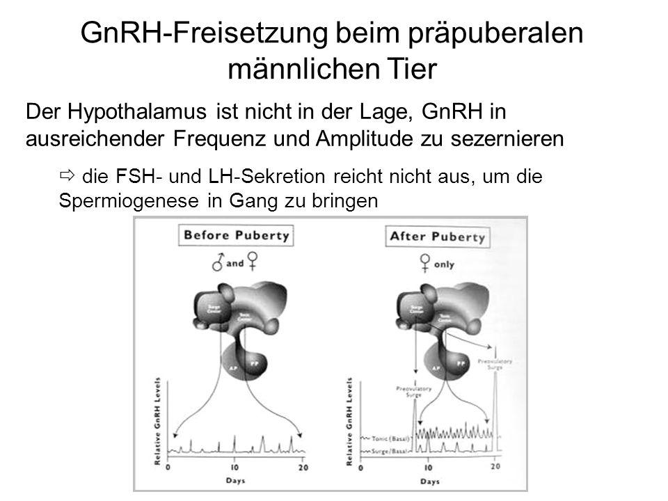 GnRH-Freisetzung beim präpuberalen männlichen Tier Der Hypothalamus ist nicht in der Lage, GnRH in ausreichender Frequenz und Amplitude zu sezernieren