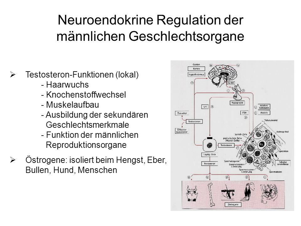 Testosteron-Funktionen (lokal) - Haarwuchs - Knochenstoffwechsel - Muskelaufbau - Ausbildung der sekundären Geschlechtsmerkmale - Funktion der männlic