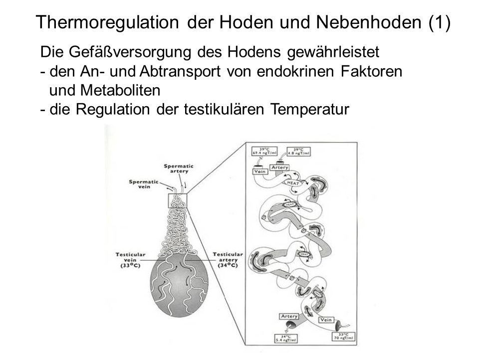 Thermoregulation der Hoden und Nebenhoden (1) Die Gefäßversorgung des Hodens gewährleistet - den An- und Abtransport von endokrinen Faktoren und Metab