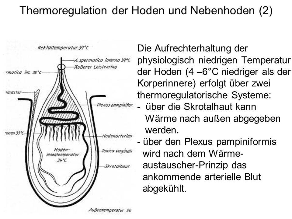 Thermoregulation der Hoden und Nebenhoden (2) Die Aufrechterhaltung der physiologisch niedrigen Temperatur der Hoden (4 –6°C niedriger als der Korperi