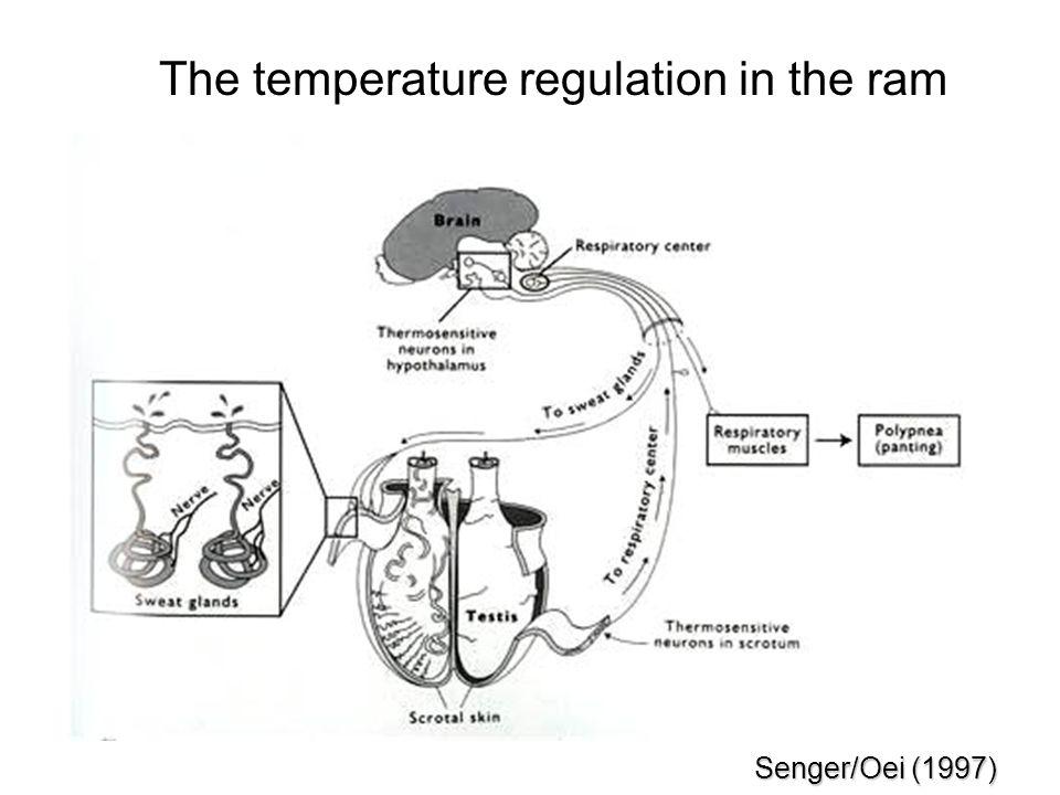 The temperature regulation in the ram Senger/Oei (1997)
