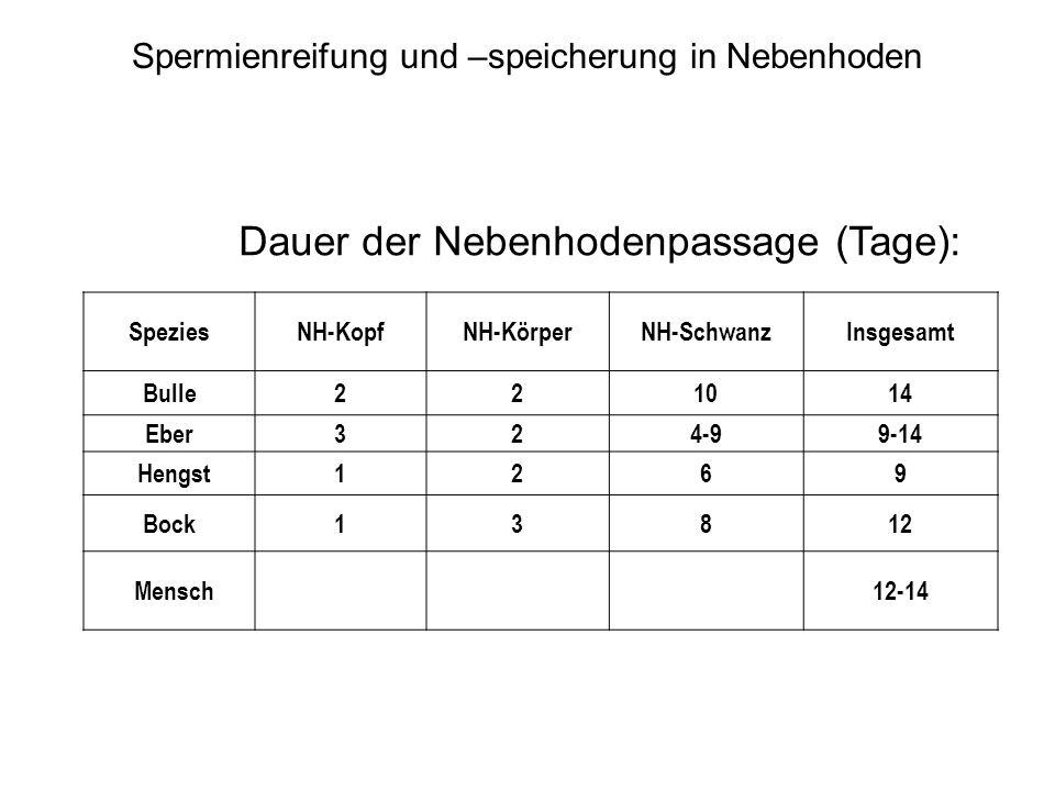 SpeziesNH-KopfNH-KörperNH-SchwanzInsgesamt Bulle221014 Eber324-99-14 Hengst1269 Bock13812 Mensch12-14 Dauer der Nebenhodenpassage (Tage): Spermienreif