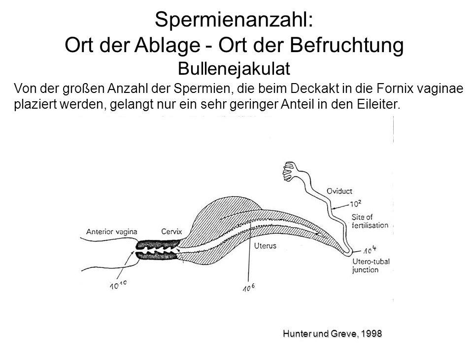 Spermienanzahl: Ort der Ablage - Ort der Befruchtung Bullenejakulat Von der großen Anzahl der Spermien, die beim Deckakt in die Fornix vaginae plazier