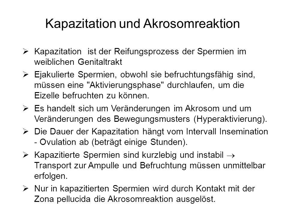 Kapazitation und Akrosomreaktion Kapazitation ist der Reifungsprozess der Spermien im weiblichen Genitaltrakt Ejakulierte Spermien, obwohl sie befruch