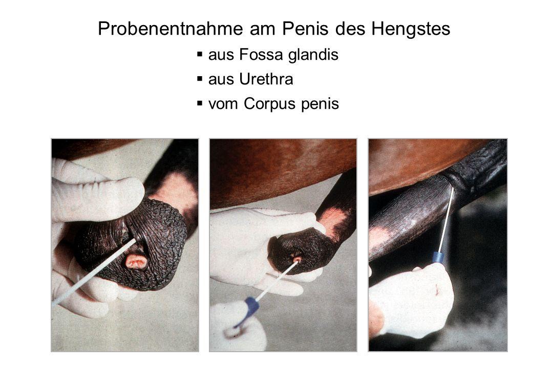 29 Probenentnahme am Penis des Hengstes aus Fossa glandis aus Urethra vom Corpus penis