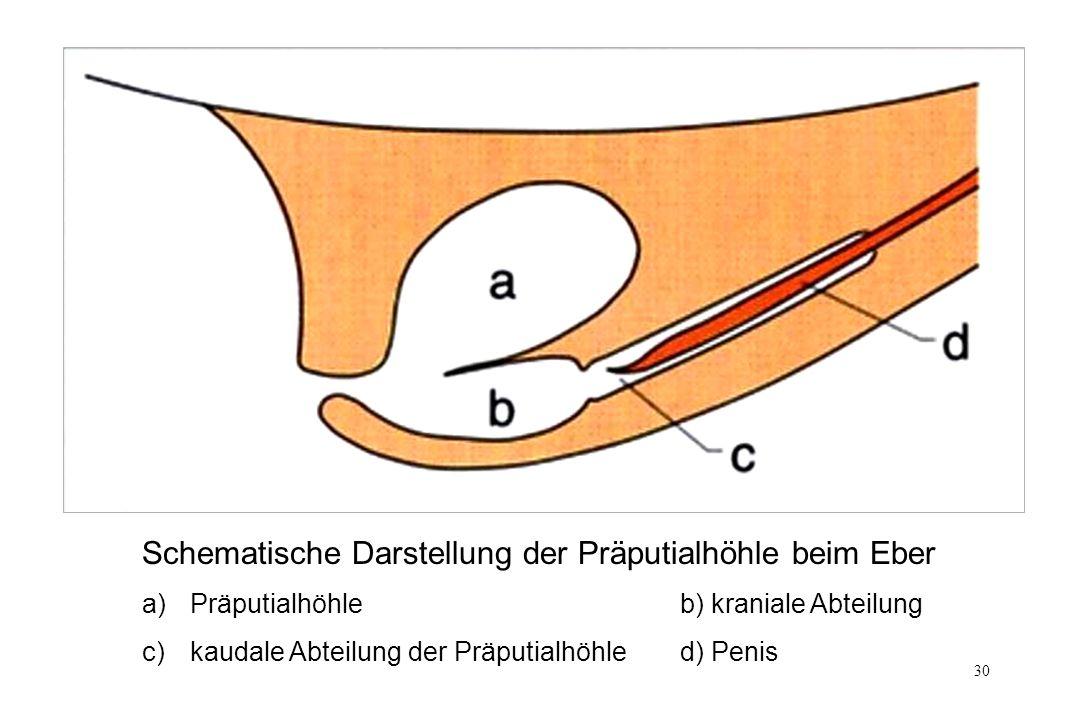 30 Schematische Darstellung der Präputialhöhle beim Eber a)Präputialhöhle b) kraniale Abteilung c) kaudale Abteilung der Präputialhöhle d) Penis