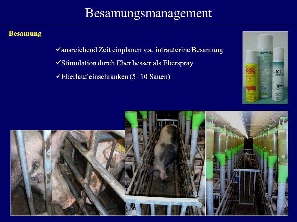 Besamungsmanagement Besamung ausreichend Zeit einplanen v.a. intrauterine Besamung Stimulation durch Eber besser als Eberspray Eberlauf einschränken (