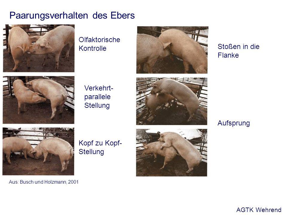 Paarungsverhalten des Ebers Aus: Busch und Holzmann, 2001 Olfaktorische Kontrolle Verkehrt- parallele Stellung Stoßen in die Flanke Aufsprung Kopf zu Kopf- Stellung AGTK Wehrend