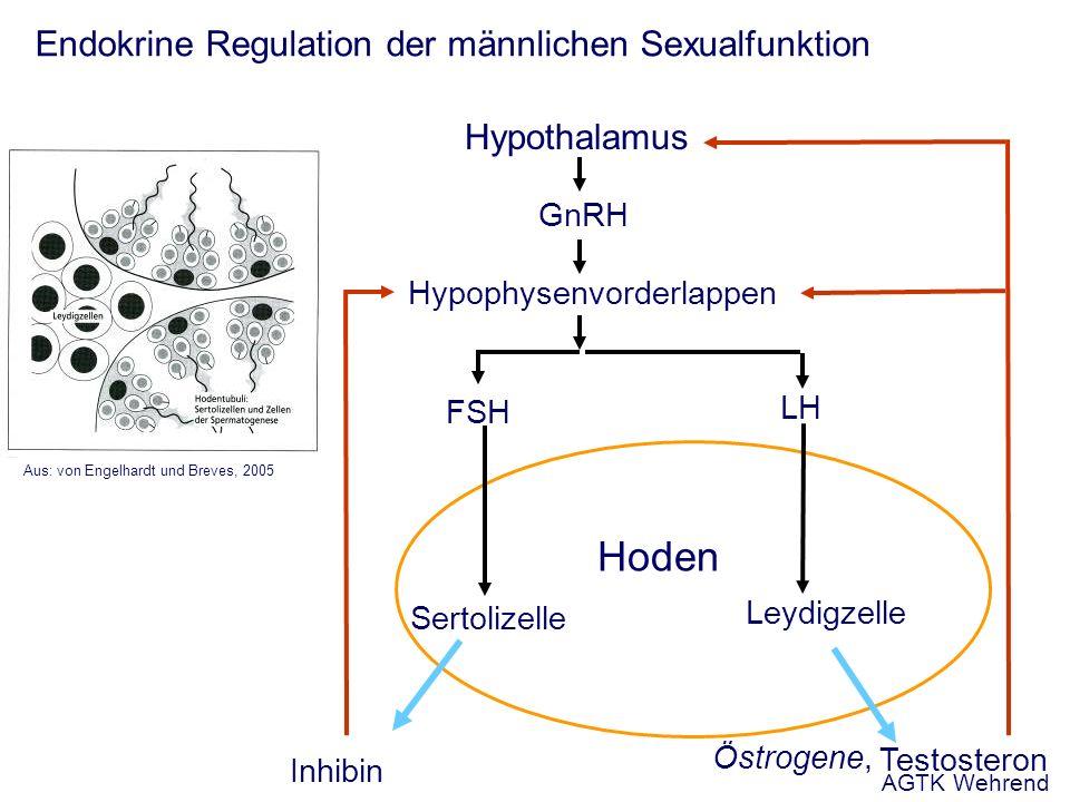 Endokrine Regulation der männlichen Sexualfunktion Hypothalamus Hypophysenvorderlappen Sertolizelle Hoden Leydigzelle Aus: von Engelhardt und Breves, 2005 GnRH FSH LH Inhibin Testosteron Östrogene, AGTK Wehrend