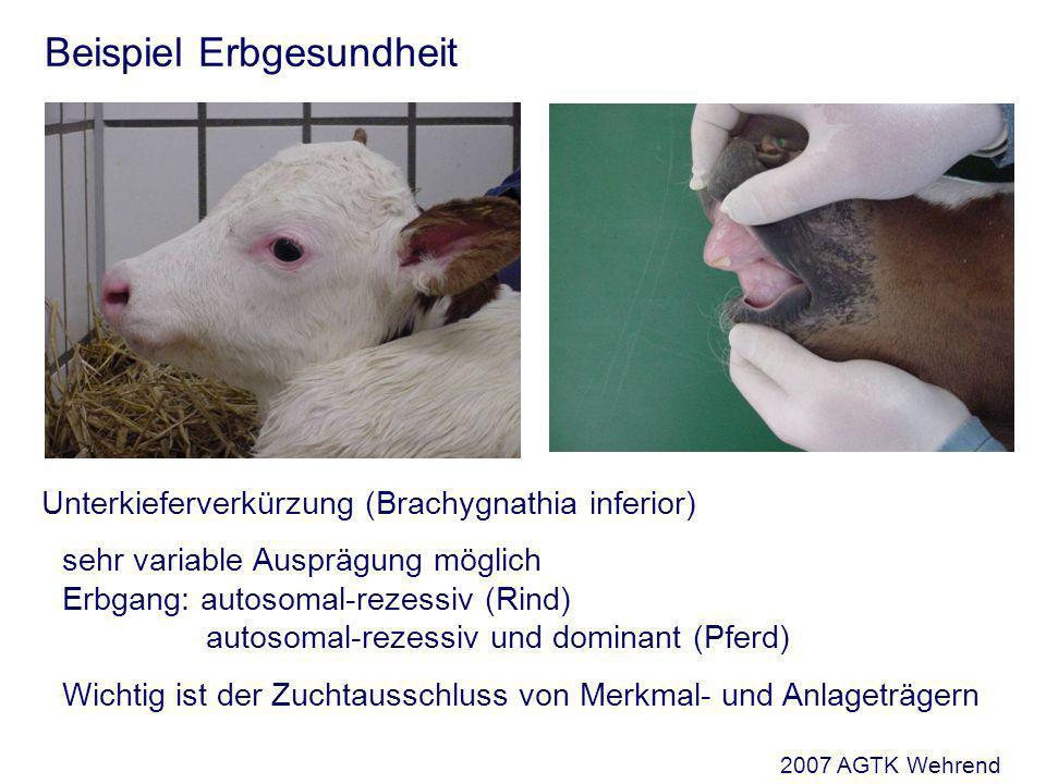 Unterkieferverkürzung (Brachygnathia inferior) sehr variable Ausprägung möglich Erbgang: autosomal-rezessiv (Rind) autosomal-rezessiv und dominant (Pferd) Wichtig ist der Zuchtausschluss von Merkmal- und Anlageträgern Beispiel Erbgesundheit 2007 AGTK Wehrend
