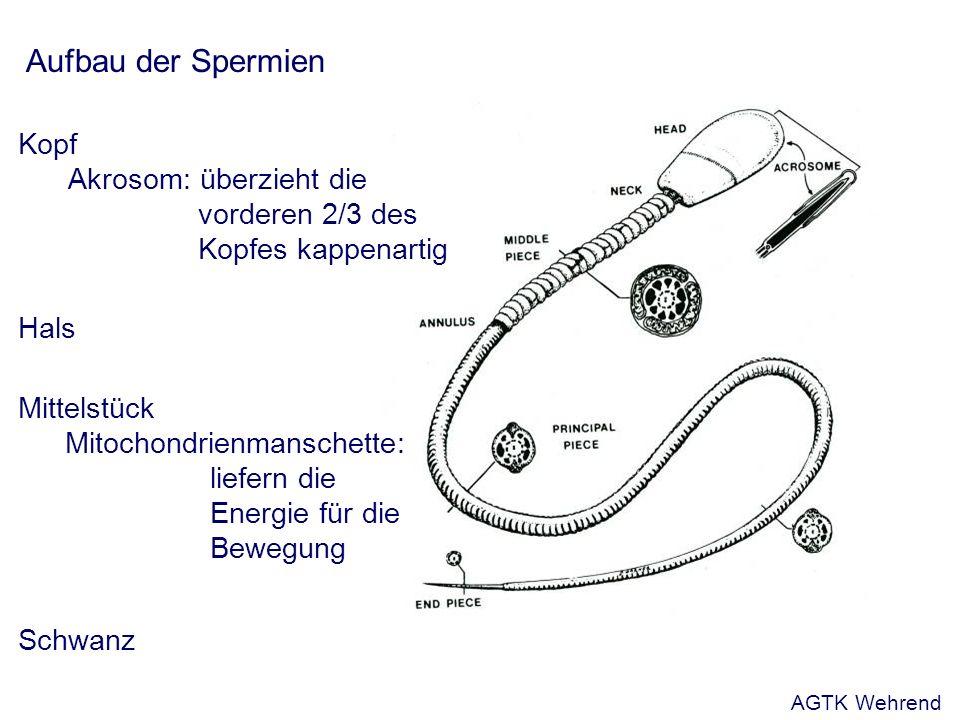 Aufbau der Spermien Kopf Akrosom: überzieht die vorderen 2/3 des Kopfes kappenartig Hals Schwanz Mittelstück Mitochondrienmanschette: liefern die Energie für die Bewegung AGTK Wehrend