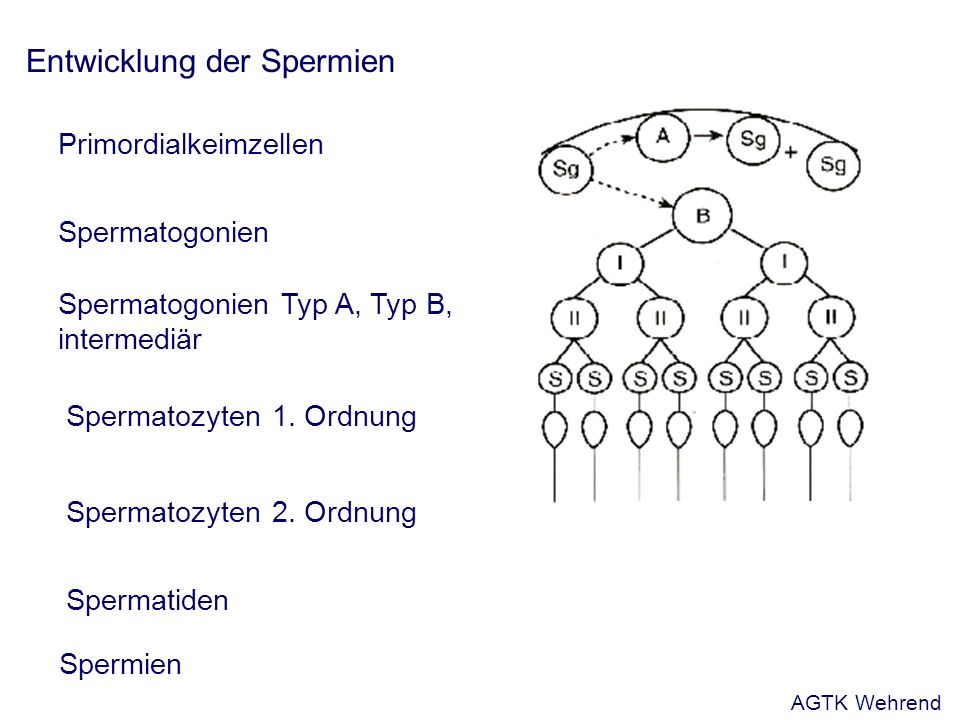 Mikroskopische Ejakulatuntersuchung Spermienbeweglichkeit (Motilität) - Massenbewegung: Beurteilung am nativen Wdk.-Sperma linsengroßer Tropfen, ohne Deckgläschen, Hellfeld vorgewärmter Objektträger, 100fache Vergrößerung - Einzelbeweglichkeit: - Schätzverfahren unter dem Lichtmikroskop - Computergesteuerte Videomikrografie (CASA) - Abweichungen:- Asthenozoospermie: verminderte Beweglichkeit - Akinozoospermie: keine Beweglichkeit AGTK Wehrend
