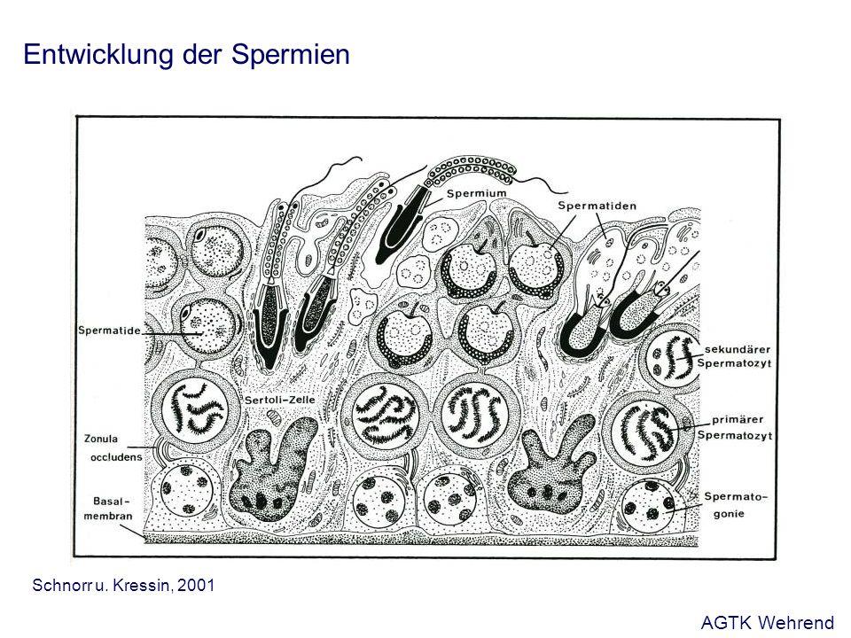 Mikroskopische Ejakulatuntersuchung Anteil lebender Spermien - Prinzip: Einsatz von Farbstoffen, die unterschiedlich in lebende und tote Spermien eindringen und oder in diesen verbleiben - Abweichungen:- Nekrozoospermie: ausschließlich tote Spermien Agglutination und Fremdbeimengungen - Agglutination: Zusammenlagern von Spermienköpfen - Fremdbeimengungen: - unreife männliche Keimzellen (Rundzellen) - Epithelzellen - Erythrozyten - Leukozyten - Schmutzpartikel AGTK Wehrend