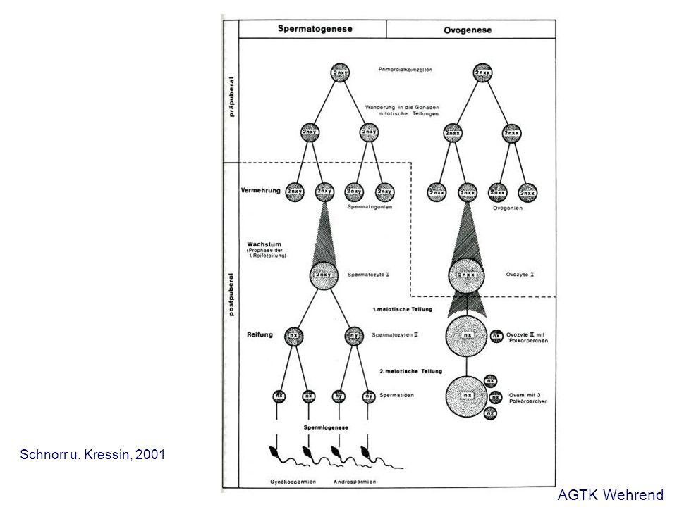 Mikroskopische Ejakulatuntersuchung Spermienmorphologie - immer Abweichungen von der Morphologie zu finden - zur Beurteilung ist eine Immobilisierung der Samenzellen mit Formol- Zitrat-Lösung notwendig - nachgeschaltete Färbungen Einteilung der morphologischen Spermienveränderungen - primäre Spermienveränderungen - sekundäre Spermienveränderungen - tertiäre Spermienveränderungen - Abweichungen: - Teratozoospermie: veränderte Spermienmorphologie AGTK Wehrend